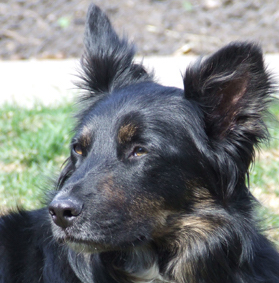 sheltie mix head shot