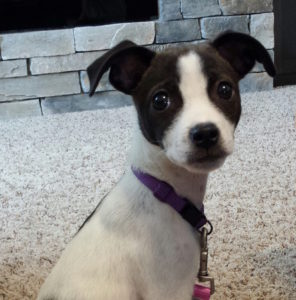 rat terrier mix sit stay