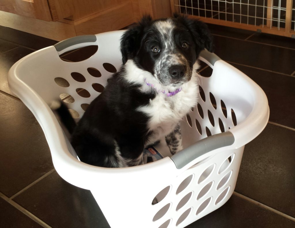 Border collie puppy in a laundry basket