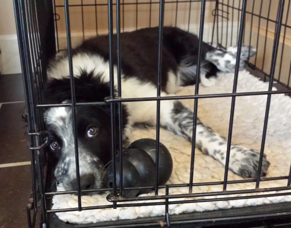 border collie puppy with kong in crate