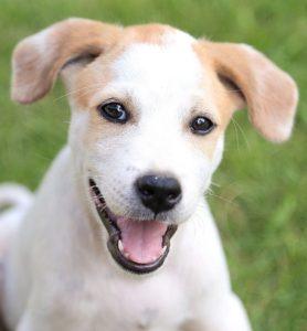 white/tan puppy
